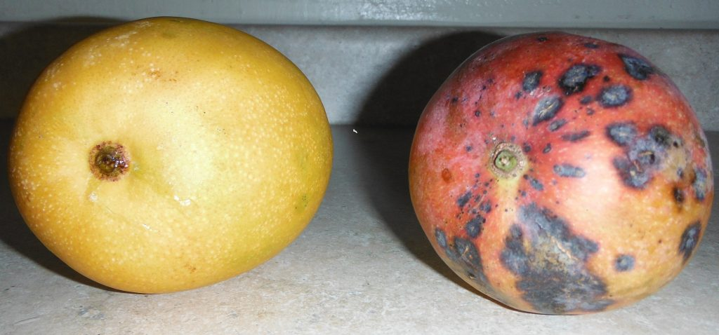 2016-07-11 Mango left 15 brix Nelson farm