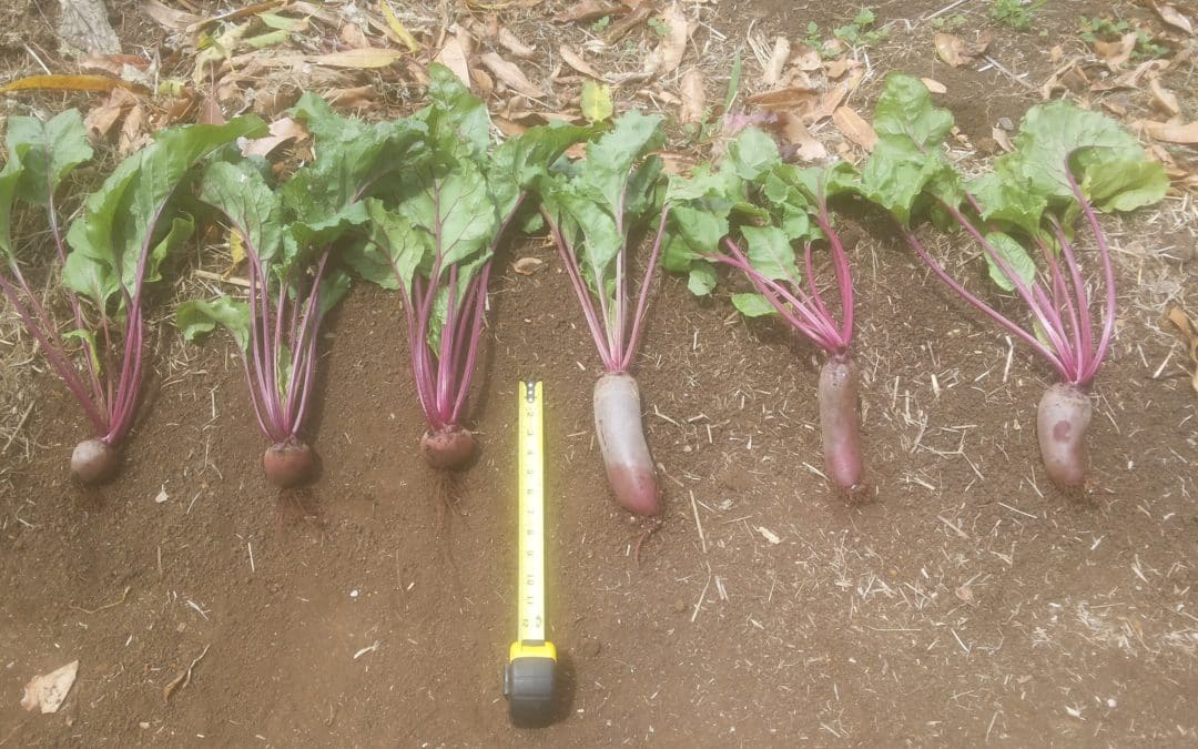 Beets 3X the Size!  Beyond Organic Farm Trial Results